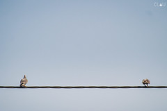 Amigas (Claudio Seplveda (Claush)) Tags: chile santiago azul paloma cable ave cielo