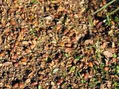 ACORNS! - Canyon Trail, Monte Bello Open Preserve