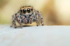 Jumping Spider on a Garden Hose (Mundo Poco) Tags: macro canon spider arachnid jumpingspider salticidae mpe65mm eos450d rebelxsi