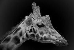 Giraffe in Mono (J3ni) Tags: white black neck zoo mono nikon jeni head chester tall giraffe 2008 harney d60 blackwhitephotos cmwd cmwdblackandwhite j3ni snaptweet