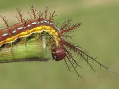 estudio a un gusano (ca.millionaire) Tags: insect beatle centipede gusano bicho millipede insecto cienpies
