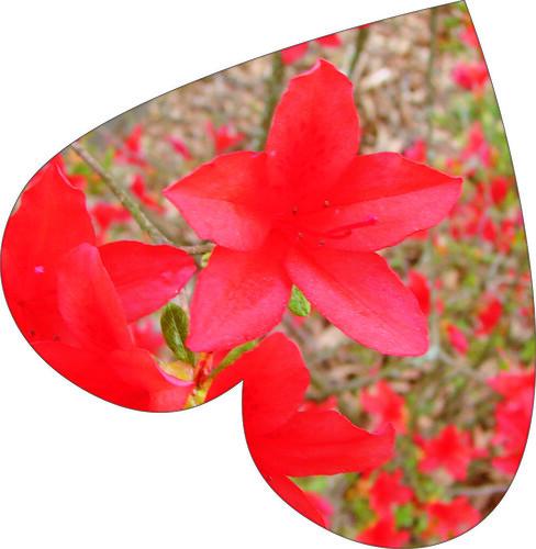 azalea heart
