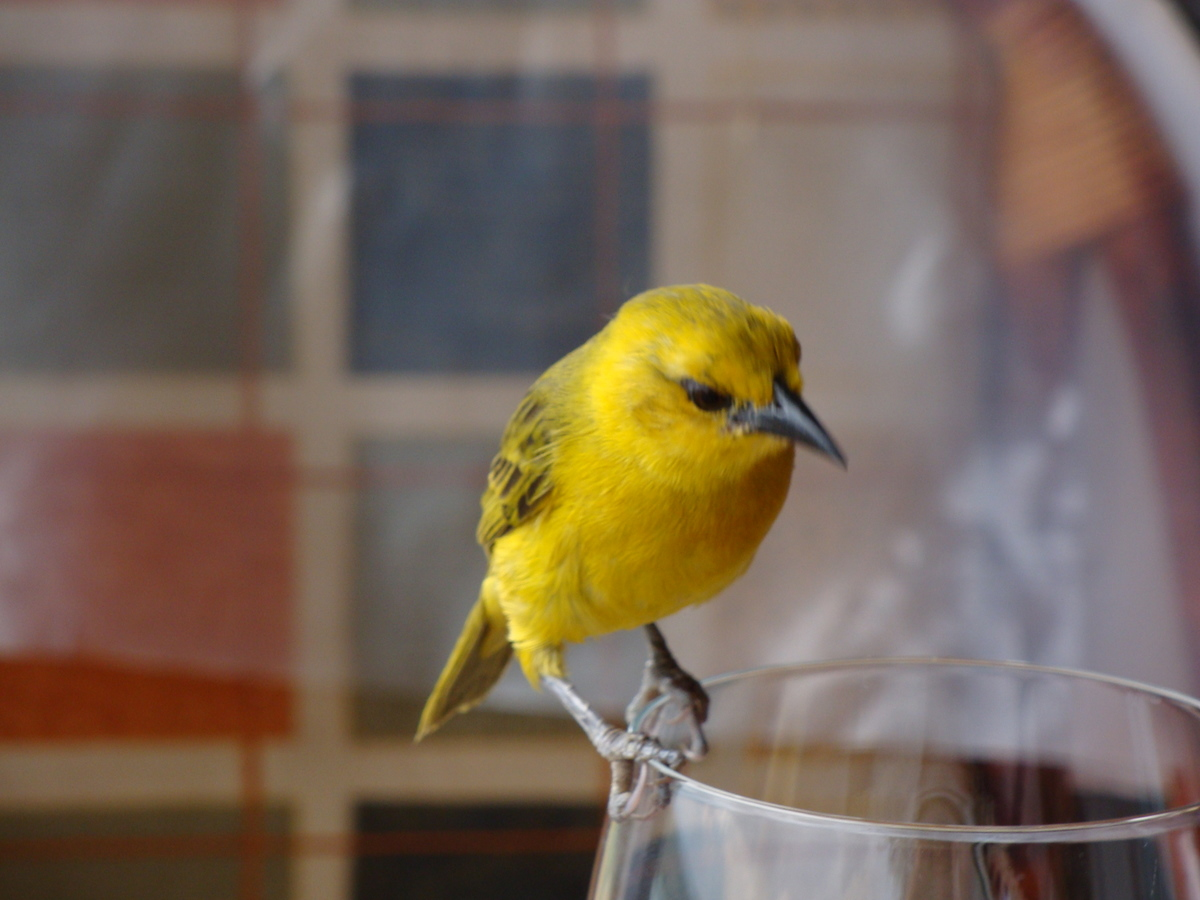 Yellow Bird on the edge of the wine glass