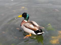 Call me Duck... Mallard Duck