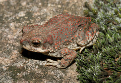 Toad in Yécora (cowyeow) Tags: chihuahua latinamerica sonora mexico toad herp herps herpetology yecora herping