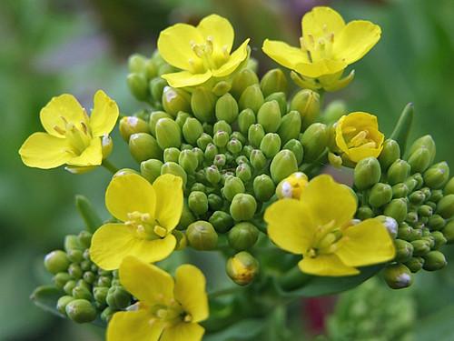 菜の花~笹川流れ