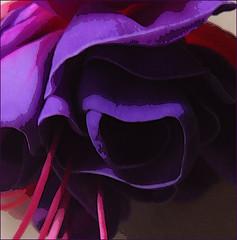 fuscia - 365/201 (maggie224 -) Tags: flower fuscia digitalcameraclub project365 365201 365720