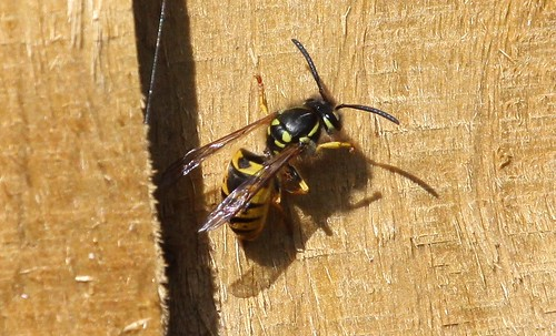 Wasp Collecting Wood Fibres