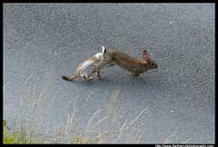 Stoat hunts Rabbit - 1 (Dan Harrod) Tags: uk rabbit na