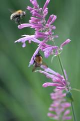 Parc Floral - Vincennes-66 (MissDogo) Tags: paris macro fleur closeup animaux parc insectes vincennes parcfloral bourdon proxyphoto hym hyménoptères hymnoptres