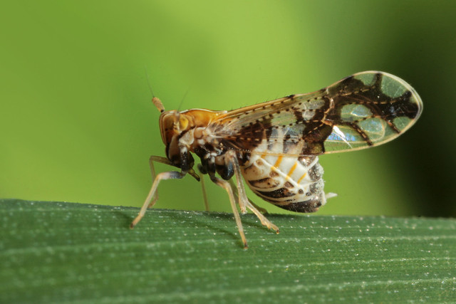 Ornate Planthopper (Liburniella ornata)