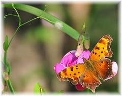 Pausing for a Beauty (squatchman) Tags: orange butterflies lepidoptera karma doorcounty d300 inthebeginning naturesfinest graycomma allthingsbeautifulinnature itsabeautifullife beautifulbutterflies elpasojoes naturesbeauties freenature natureislovely butterfliesofwisconsin doorcountycompass nikond300users photographersgonewild tamron18270 natureoftheworldunlimited