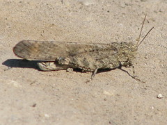 Carolina Grasshopper (Road Duster grasshopper) (Doug's Photos at Large) Tags: brantford carolinagrasshopper