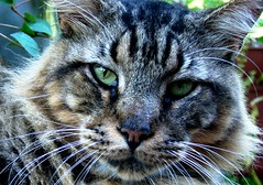 Kiki (Passion_Pirate) Tags: pet cat feline texas fierce sony tiger mainecoon huge h9 sonyh9
