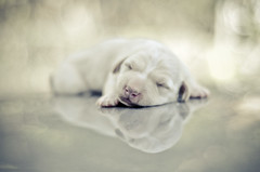 A puppy dream (BB (O.)) Tags: sleeping summer music dog white hot reflection love animal animals puppy 50mm nikon sweet bokeh dream symmetry 94 tryagain keane bb oneweek d300 o catlover doglover