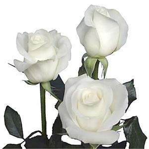 Roses White Akito Abacoflowers