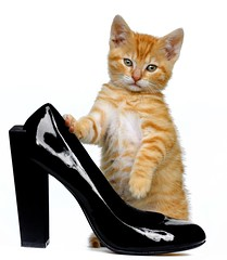 Hebbes loves high heels (edwindejongh) Tags: pictures red pets cute animal cat shoe ginger kitten chat kitty un van sabine der redcat blackshoes zeedijk kittycat ladiesshoes trained poesje animalphotography katje chatrouge hebbes animalhandler animaltraining animaltrainer unitednude animalhandling vanderhelm hogehakken