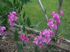 Flowering Sweet Pea (c.lindle) Tags: sweetpea lathyrusodoratus