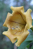 Solandra Nitida (fleuv77) Tags: flower solanaceae chalicevine solandranitida cupofgoldvine