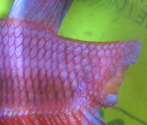 Wounded betta fish care for Betta fish medicine
