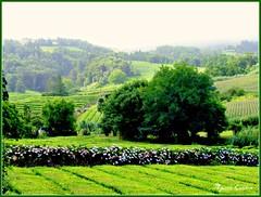"""Plantação de Chá da """"Gorreana"""" I (Miguel Tavares Cardoso) Tags: portugal azores açores smiguel ilhadesmiguel miguelcardoso flickraward ilustrarportugal migueltavarescardoso"""