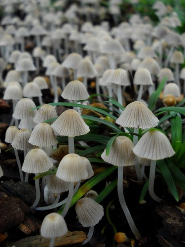 Les Champignons Blanche (The White Mushrooms)