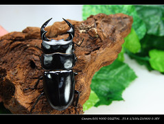 DA 安達祐實大鍬 (我一定會成功) Tags: 寵物 獨角仙 甲蟲 鍬形蟲