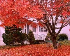 My Maple Tree