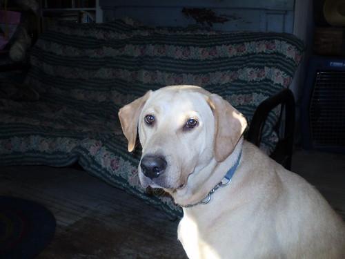 Labrador in the morning