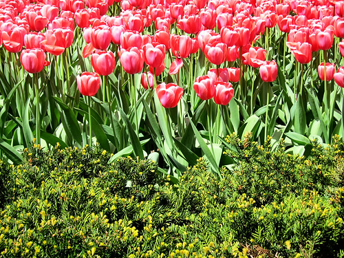 Tulips NYC