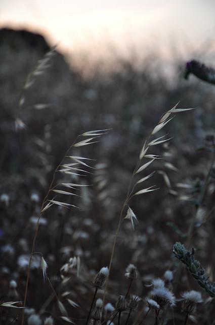 weeds at dusk