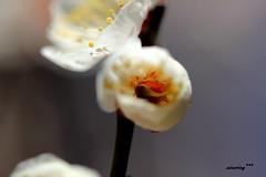 (ainaring***) Tags: flower macro japan canon spring natural  ume