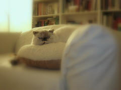 Suki (theappraiserlady) Tags: cat beige pillow ethereal suki persiancat exoticcat joyas jias himalayancat theappraiserlady sheissogentle