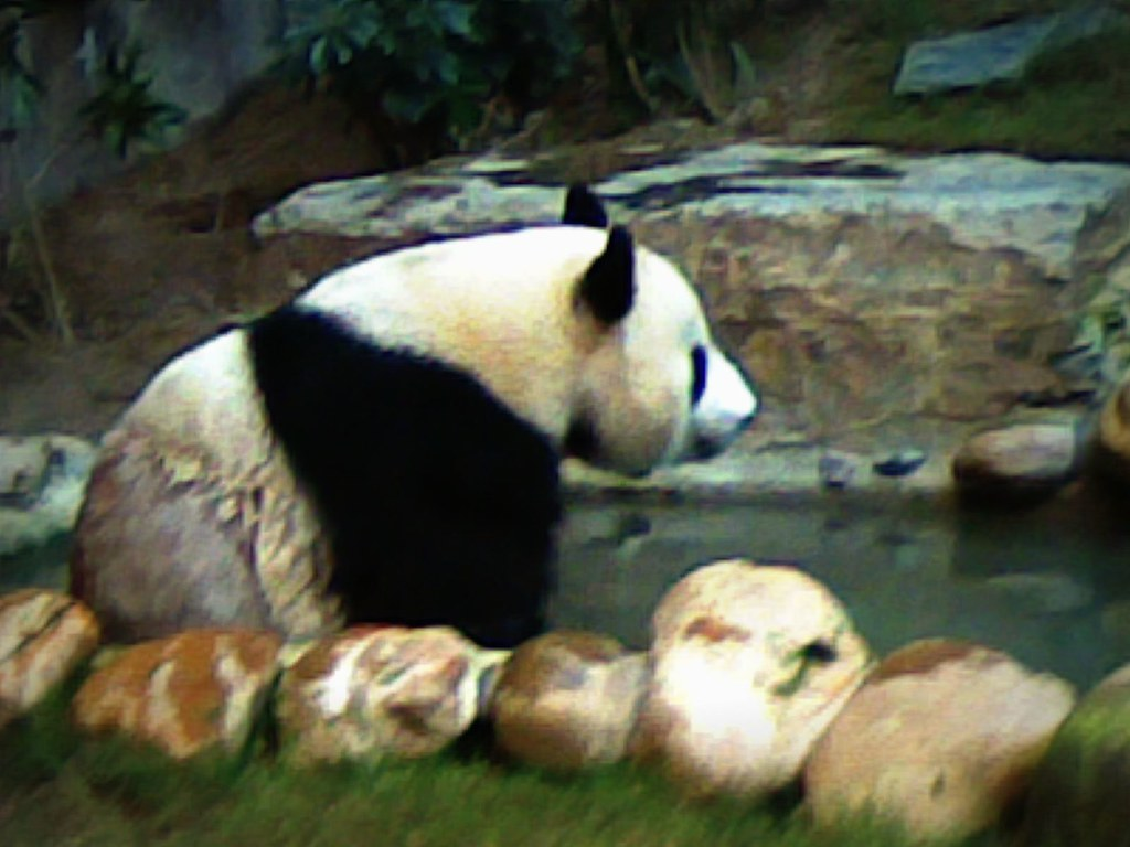Jai Jai - Ocean Park's Panda