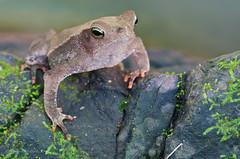 Rhinella alata (Primeval Nature) Tags: brown nature forest rainforest wildlife amphibian toads frog camouflage toad frogs jag panama amphibians forestfloor gamboa anura anuran bufotyphonius leaflittertoad