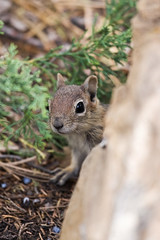 Sneak A Peek (James Marvin Phelps) Tags: park photography utah squirrel wildlife canyon national bryce brycecanyon jmp brycecanyonnationalpark goldenmantledgroundsquirrel mandj98 jmpphotography jamesmarvinphelps