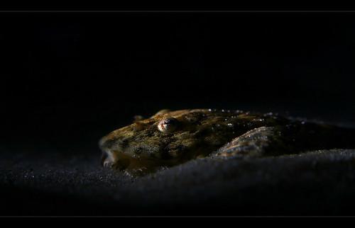 Hemiloricaria beni - Zwerghexenwels