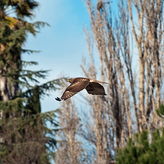 Red-tailed Hawk in flight (Images by John 'K') Tags: california dublin flying hawk redtailedhawk potofgold johnk ironhorsetrail photographyrocks saturdayride d40x johnkrzesinski randomok