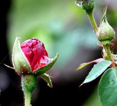 Langue D' amour (xeno(x)) Tags: red macro art nature rain rose canon garden asia tears explore waterdrops 2009 xeno bej 40d overtheexcellence