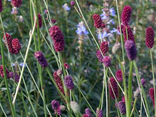 SANGUISORBA tenuifolia 'Purpurea'