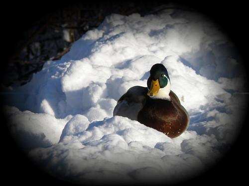 Duck-portrait...