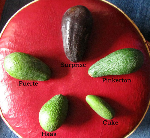 avocado-names