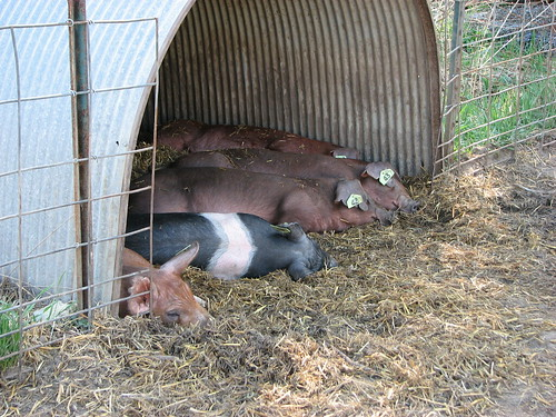 Sleeping Piggies