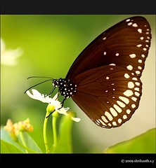 Brown King Crow (Euploea klugii) (shri :)) Tags: closeups butterfuly commonmime canon450d sigmaapomacro