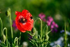 Prairie fleurie (Serge Dussans) Tags: flowers nature fleurs wildflowers prairie coquelicots