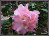 Azalea indica; Rhododendron simsii (Indoor/Indian Azalea, Chinese Indica/Azalea, Chinese Honeysuckle, Sim's Azalea, Belgian/Southern Indian or Indica Hybrids)