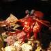 Mantis Shrimp - Gonodactyllaceus randalli
