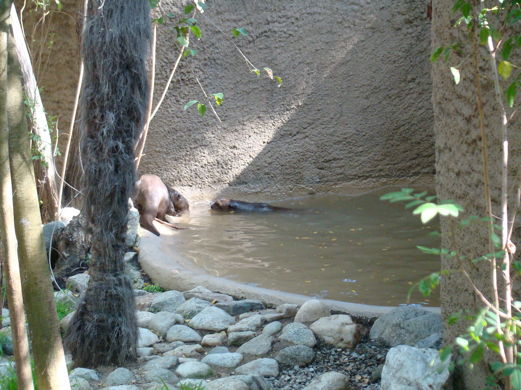 Giant Otters at the Los Angeles Zoo