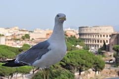 Gaviota Romana (Juanjod) Tags: roma bird nikon bokeh coliseo ave pajaro gaviota d90