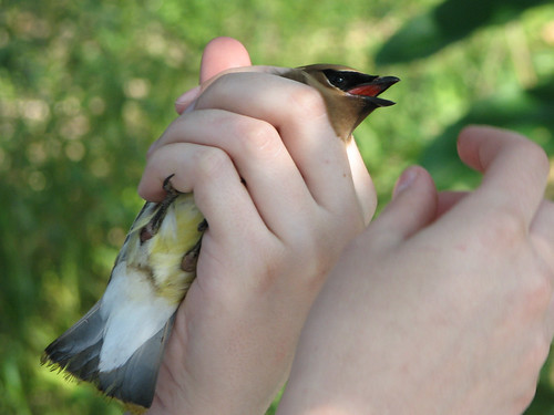 Waxwing In Hand